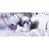 Preciosos Cachorros Shitzu Calidad A-1, Padres Americanos
