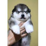 Legítimos Cachorros Alaska Malamute, Padres Importados