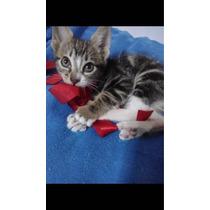 Gatitos Atigrados 3 Meses Cariñosos Surco- La Molina Adop