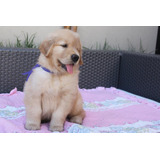 Cachorros Golden Retriever Full Pedigri Dorado Kcp