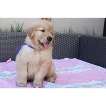 Cachorros Golden Retriever Full Pedigri Dorado Kcp