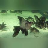Peces: Goldfish Panda