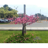Cerezo Japones (80cm - 99cm) Sakura Arbol Original Planta