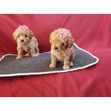 Camada De Legitimos Poodle Miniatura A-1, Padres Importados