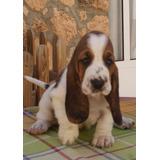 Autenticos Cachorros Basset Hound A-1, Padres Full Pedigri