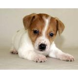 Verdaderos Y Autenticos Cachorritos Jack Russell Calidad A-1