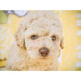 Cachorros Poodle Legitimos Vacunados - Fotos Reales