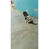 De Ocasion Cachorro Chihuahua Toy Macho