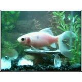 Goldfish Cometas De 7 Cm