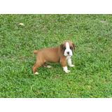 Auténticos Cachorros Boxer Calidad A-1, Padres Importados