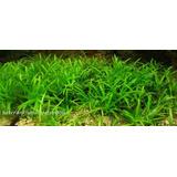 Planta Acuática Para Acuario Sagitaria Subulata