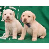 Cachorros Labrador De Raza Pura - Fotos Reales