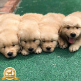 Cachorros Golden Retriever Peru Oficial