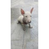 Bull Terrier 2 Meses De Edad ( La Molina)