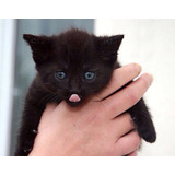 Gatitos Negros Bebés 1 Mes Únicos Adopción Responsable