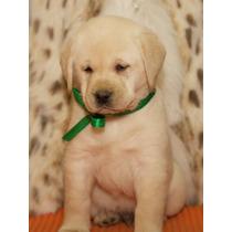 Autenticos Cachorros Labradores A-1, Padres Argentinos