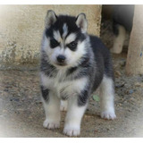 Autenticos Cachorros Siberianos A -1, Padres Full Pedigri
