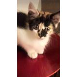 Gatita Tricolor Bebé, Bien Peludita Adopción