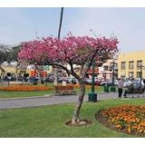 Arbol Sakura (70-85cm) Cerezo Japones Original