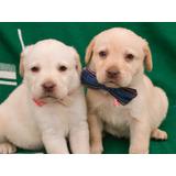 Cachorros Labrador Raza Pura - Efectivo O Tarjeta De Credito