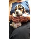 Super Cachorros Beagle  100 % Raza Pura Tricolor Legitimo