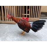 Pollos Piqueros 2 Meses