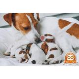 Cachorros Jack Russel Exclusivos Envíos Nacionales