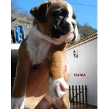 Preciosos Y Auténticos Cachorros Boxer, Padres Full Pedigri