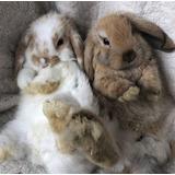 Conejos Enanos Cabeza De León Y Minilop