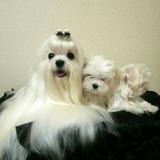 Autenticos Cachorritos Maltes Calidad A-1, Padres Importados