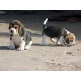 Autenticos Cachorros Beagles Calidad A-1, Padres Argentinos