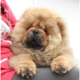 Preciosos Cachorros Chow Chow Calidad A-1, Padres Extranjero