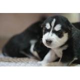 - Preciosos Cachorros Husky Siberianos - Familys Pet