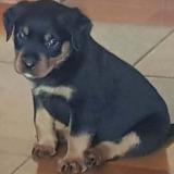 Venta De Cachorros Rottweiler Aleman Moloso Para Seguridad
