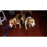 Super Cachorros Beagle  100 % Raza Pura Tricolor