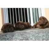 Lindos Y Originales Cachorros Labradores Chocolates