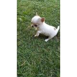 Autenticos Cachorritos Chihuahuas Miniaturas A-1,