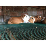 Bebederos Automáticos Para Cuyes Y Conejos