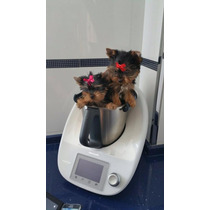 Cachorritos Yorkshire Terrier Miniaturas, Padres Importados