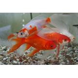 Peces: Cometas Y Goldfish