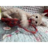 Gatitos Macho, 5 Semanas,  Súper Amoroso Adopción Responsab