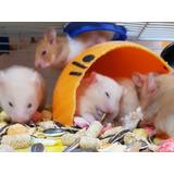 Hermosos Hamster 2x25 Incluye Bolsa De Comida Balanceada!!