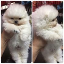 Espectacular Camada De Cachorros Pomeranias Lulu A-1
