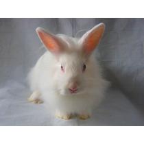 Granja Conejos Vende Cabeza De León Enano Adulto Medida 25cm