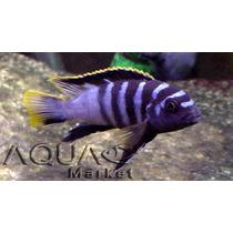 Peces Ciclidos Africanos Labidochromis Mbamba - Aquamarket