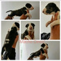 Cachorros Bull Terrier Pedigree Plateado En Venta