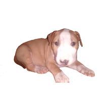 Cachorro Bull Terrier, Sin Pedigri