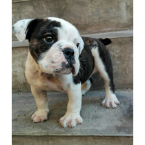 Bulldog Inglés Cachorra