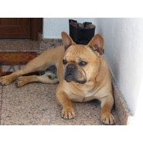Bulldog Frances Servicio De Monta _stud