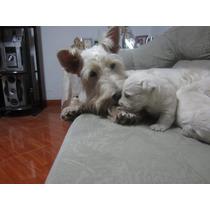 Scottish Terrier Madre Y Cachorros En Venta